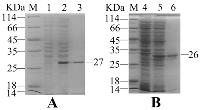 Sodium dodecyl sulfate-polyacrylamide gel electrophoresis (SDS-PAGE) analysis of recombinant interleukin-6 (rIL-6) ( A ) and recombinant outer membrane protein V (rOmpV) ( B ). Lane M: protein marker; Lanes 1and 4: recombinant clones without isopropy-β- d <t>-thiogalactoside</t> <t>(IPTG)</t> induction; Lanes 2 and 5: recombinant clones with IPTG induction; Lanes 3 and 6: purified rIL-6 and rOmpV.