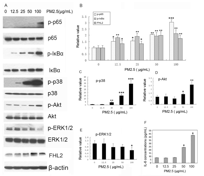 Activation of NF-κB and FHL2 upregulation by PM2.5. ( A ) Cells were incubated with 0, 12.5, 25, 50, and 100 µg/mL PM2.5 for 24 h, and phosphorylated p65 (p-p65), p65, phosphorylated IκBα (p-IκBα), IκBα, phosphorylated p38(p-p38), p38, phosphorylated Akt (p-Akt), Akt, phosphorylated ERK1/2 (p-ERK1/2), ERK1/2, FHL2 , and β-actin were detected in PM2.5-treated mouse aortic endothelial cells (MAECs). ( n = 3); ( B – E ) Band quantifications for western blot analysis. * p
