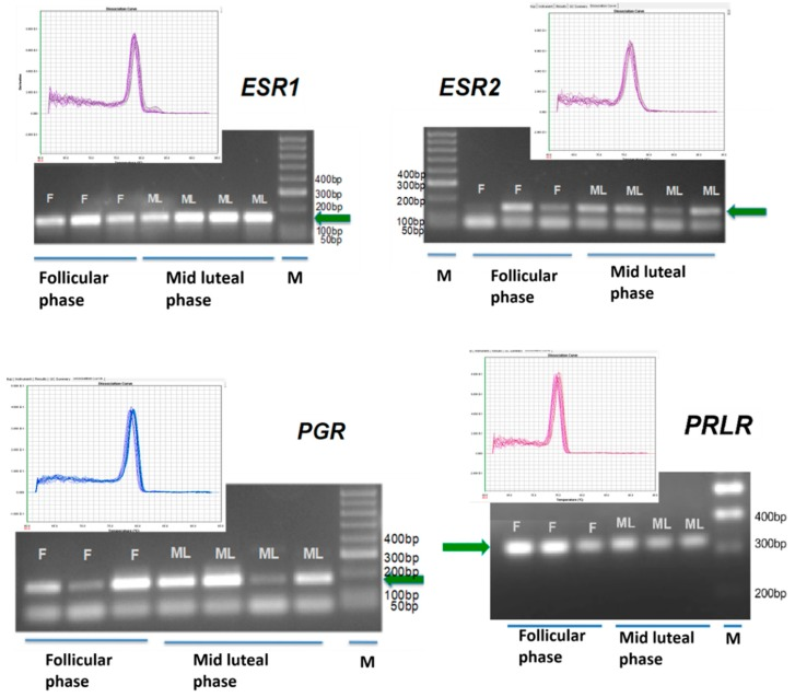 Qualitative PCR electrophoresis gel and dissociation curves of real-time PCR confirming estrogen receptor 1 ( ESR1 ), and 2 ESR2 , progesterone receptor ( PGR ) and prolactin receptor ( PRLR ) gene transcription in the IGS in different phase of the estrous cycle. Green arrow indicates the specific gene band. (F) follicular phase; (ML) mid luteal phase; (M) DNA marker; bp (base pairs). All primers validated for 80 nM in the real time PCR run. Single product confirmation with the single peak in the dissociation curve.