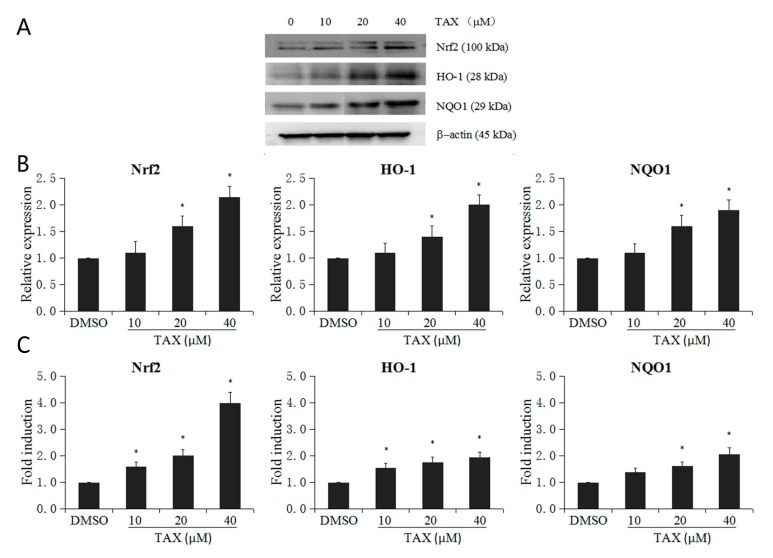 Effect of TAX on mRNA and protein expression of Nrf2 and Nrf2 target genes (HO-1 and NQO1) in JB6 P+ cells. JB6 P+ cells were treated with different TAX concentration (10 to 40 μM). ( A ) Western blot images of Nrf2 and its downstream genes including HO-1 and NQO1; ( B ) TAX increased the protein expression of Nrf2 and Nrf2 downstream enzymes; ( C ) TAX increased the mRNA levels of Nrf2 and its downstream representative enzymes including HO-1 and NQO1. The graphical data are presented as the mean ± SD from three independent experiments. * p