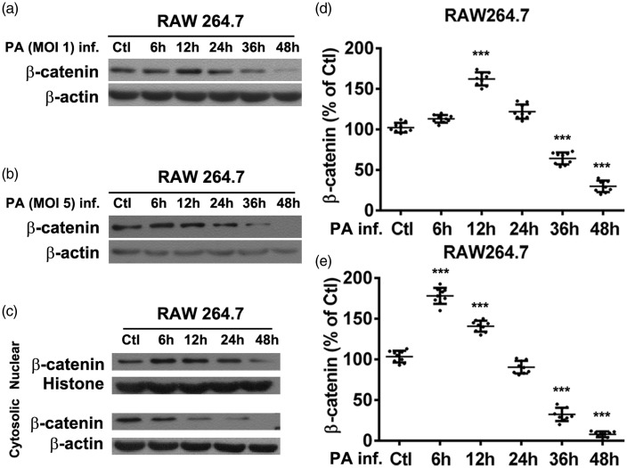 Representative Western blots of β-catenin levels from murine macrophage-like RAW264.7 cells infected with Pseudomonas aeruginosa at multiplicity of infection (MOI) values of (a) 1 and (b) 5, for 6–48 h; (c) Representative Western blots of nuclear and cytosolic β-catenin levels following RAW264.7 cell infection with P. aeruginosa at a MOI of 1 for 6–48 h, showing increased nuclear β-catenin levels at 6, 12 and 24 h and decreased levels at 48 h versus controls, and decreased cytosolic β-catenin levels at all time-points versus controls; Whole cell β-catenin relative integrated density values normalized to β-actin, presented as percentage of control values for (d) P. aeruginosa MOI 1 and (e) P. aeruginosa MOI 5 showing β-catenin levels increased at early time-points then reduced in a time-dependent manner following P. aeruginosa infection. Data presented as mean ± SD of three individual experiments; *** P