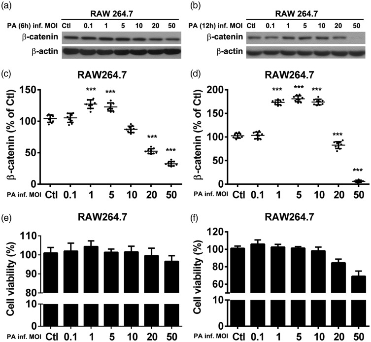 Representative Western blots of β-catenin levels from murine macrophage-like RAW264.7 cells infected with Pseudomonas aeruginosa at multiplicity of infection (MOI) values of 0.1–50 for (a) 6 h or (b) 12 h; Whole cell β-catenin relative integrated density values normalized to β-actin, presented as percentage of control values for (c) cells infected for 6 h and (d) cells infected for 12 h (β-catenin levels reduced with increasing P. aeruginosa multiplicity of infection values); Cell viability of RAW264.7 cells infected with P. aeruginosa at MOI values of 0.1–50 for (e) 6 h or (f) 12 h, evaluated by cell counting kit-8 assay. Data presented as mean ± SD of three individual experiments; *** P
