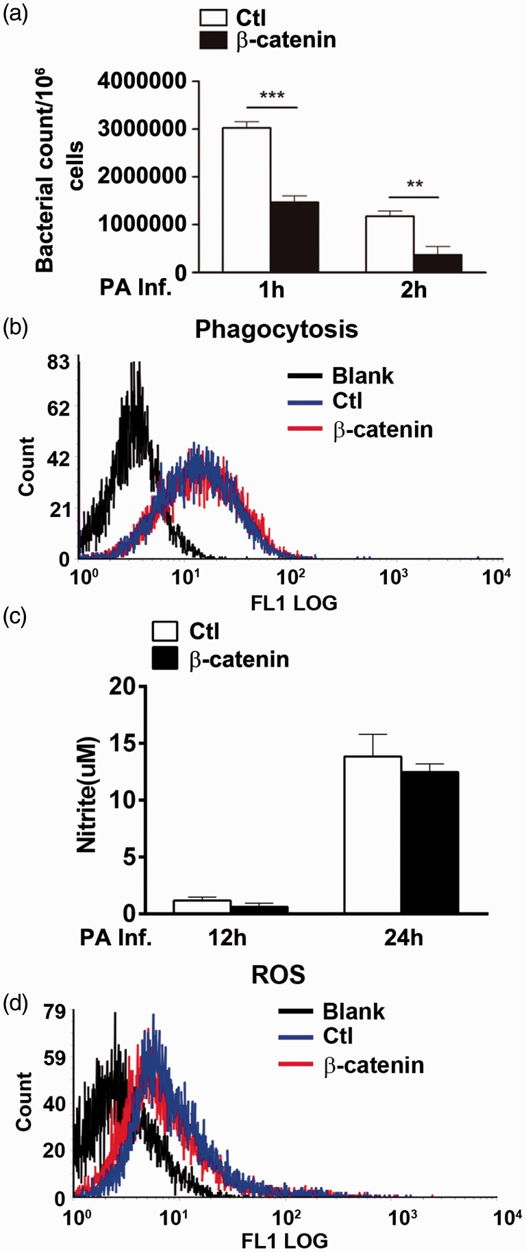 RAW264.7 cells transduced with β-catenin (encoded by catenin beta 1 [ CTNNB1 ] gene) or controls were infected with Pseudomonas aeruginosa : (a) Plate counts showed that bacterial killing was increased in cells overexpressing CTNNB1 versus controls at 1 h (*** P