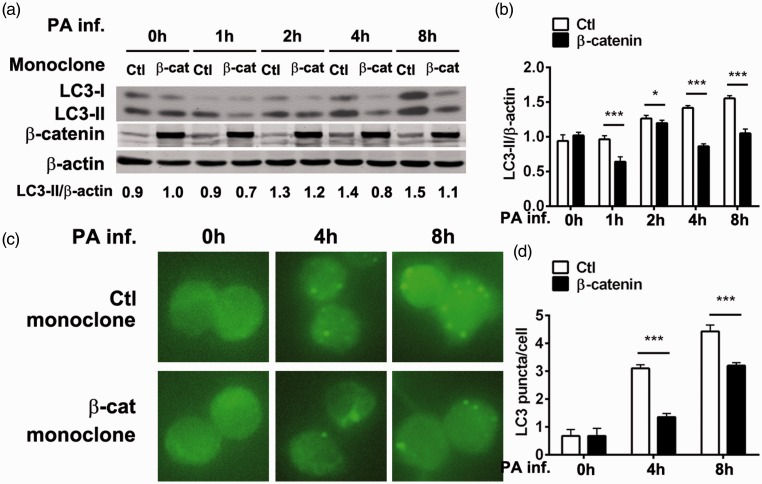 RAW264.7 cells transduced with β-catenin (encoded by catenin beta 1 [ CTNNB1 ] gene) or controls were infected with Pseudomonas aeruginosa at a multiplicity of infection value of 1 and showed that β-catenin suppressed P. aeruginosa -triggered macrophage autophagy: (a) Representative Western blots showing microtubule-associated protein 1 light chain 3 alpha (LC3)-I, LC3-II and β-catenin protein levels with or without P. aeruginosa infection for 1, 2, 4 or 8 h (LC3-II:β-actin ratio shown underneath); (b) LC3 relative integrated density values normalized to β-actin, presented as ratio of control transduced cells showing lower LC3 levels in β-catenin versus control cells (* P
