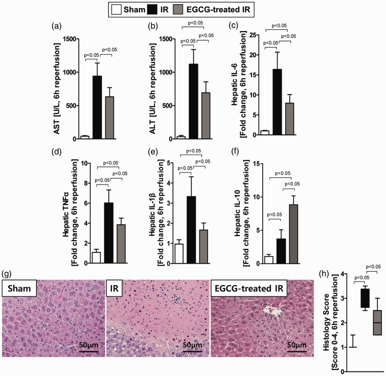 Investigations into the effects of pretreatment with 50 mg/kg epigallocatechin-3-gallate (EGCG) prior to hepatic ischaemia–reperfusion injury on biochemical and histological makers of liver injury in mice. The three treatment groups were as follows: sham-operated group (Sham, n = 10), hepatic ischaemia–reperfusion injury group (IR, n = 10), and EGCG with ischaemia–reperfusion injury group (EGCG-treated IR, n = 10). (a) Serum aspartate aminotransferase (AST) levels. Data presented as mean ± SD of five to eight animals per group; (b) Serum alanine aminotransferase (ALT) levels. Data presented as mean ± SD of five to eight animals per group; (c–f) Results of real-time reverse transcription–polymerase chain reaction analysis of the mRNA levels in samples of mouse liver after hepatic ischaemia–reperfusion injury for the following markers of liver injury: (c) interleukin(IL)-6, (d) tumour necrosis factor (TNF)-α, (e) IL-1β, and (f) IL-10. Data presented as mean ± SD of five to eight animals per group; (g) Representative photomicrographs showing liver sections stained with haematoxylin and eosin. The hepatic ischaemia–reperfusion injury group (IR) showed inflammatory cell infiltration in the liver. Scale bar: 50 µm; (h) Quantification of the liver injury measured using the Suzuki histological scoring index (0–4). Data are presented as median (50 th percentile), box (25 th to 75 th percentile) and whisker (minimum to maximum). P