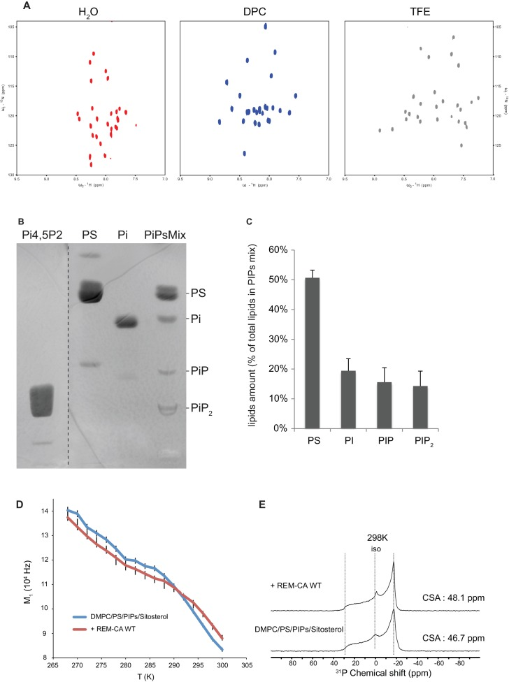 Solution NMR and 31 P and 2 H solid-state NMR analysis. Thin-layer chromatography analysis of <t>Phosphoinositides</t> mix (PIPs). ( A ) REM-CA folds in alpha helix in hydrophobic environment. 2D 1 H- 15 N correlation spectra of REM-CA recorded at 800MHz using the SOFAST-HMQC pulse sequence. All spectra were recorded at 25°C with 1 mM of REMCA-WT in H 2 O/D 2 O (90/10) (red), Dodecylphosphocholine-d38, DPC (blue) and trifluoroethanol-d2, TFE (grey). ( B ) Primulin-stained high-performance thin layer chromatography <t>(HP-TLC)</t> plate of the Phosphoinositides mix (PIPs), reference P6023 SIGMA, along with authentic standards: Phosphatidylserine (PS) Phosphatidylinositol (PI), Phosphatidylinositol-4-phosphate (PI4P) and Phosphatidylinositol-4,5-bisphosphate PI(4,5)P 2 ). ( C ) Histogram representation of relative amounts of each lipid species present in the PIPs quantified by densitometry scanning. Bars indicate SEM, n = 3. ( D ) Temperature effect on REM-CA containing liposomes in the range −8°C to 31°C. Heating curves and corresponding NMR lineshape do not show significant changes. ( E ) 31 P NMR spectra of deuterated 1,2-dimyristoyl-d54- sn -3-phosphocholine (DMPC-d54) membrane in the absence or presence of REM-CA. DOI: http://dx.doi.org/10.7554/eLife.26404.010