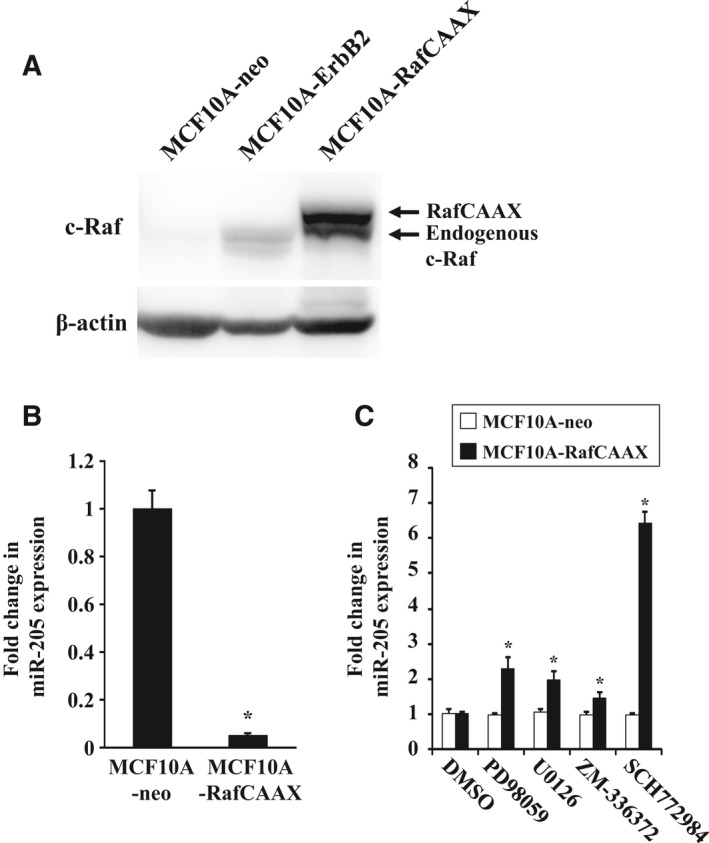Expression of miR‐205 in MCF 10A‐Raf CAAX cells treated with ERK inhibitor. (A) Western blot analysis of MCF 10A‐Raf CAAX , MCF 10A‐ErbB2, and MCF 10A‐neo cells with anti‐Raf‐1 antibodies. β‐Actin was used as a control for loading. (B) Real‐time quantitative RT ‐ PCR analysis of miR‐205 expression in MCF 10A‐Raf CAAX and MCF 10A‐neo cells. Data are mean ± SEM of three independent experiments. (C) Real‐time quantitative RT ‐ PCR analysis of miR‐205 expression in MCF 10A‐neo and MCF 10A‐Raf CAAX cells treated with MEK inhibitor U0126 (10 μ m ) or PD 98059 (20 μ m ), Raf1 kinase inhibitor ZM ‐336372 (1 μ m ), or ERK inhibitor SCH 772984 (1 μ m ) for 48 h. Data are mean ± SEM of three independent experiments. * P