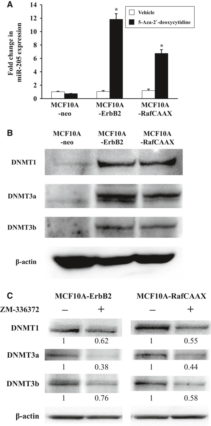 Effects of DNA demethylation on miR‐205 expression and expression of DNMT family in MCF 10A‐neo, MCF 10A‐ErbB2, and MCF 10A‐Raf CAAX cells. (A) Real‐time quantitative RT ‐ PCR analysis of miR‐205 in MCF 10A‐Raf CAAX , MCF 10A‐ErbB2, and MCF 10A‐neo cells treated with the DNA methylation inhibitor. Cells were treated with 5‐aza‐2′‐deoxycytidine (5 μ m ) for 48 h. Data are normalized to vehicle control and represented as mean ± SEM of three independent experiments. * P