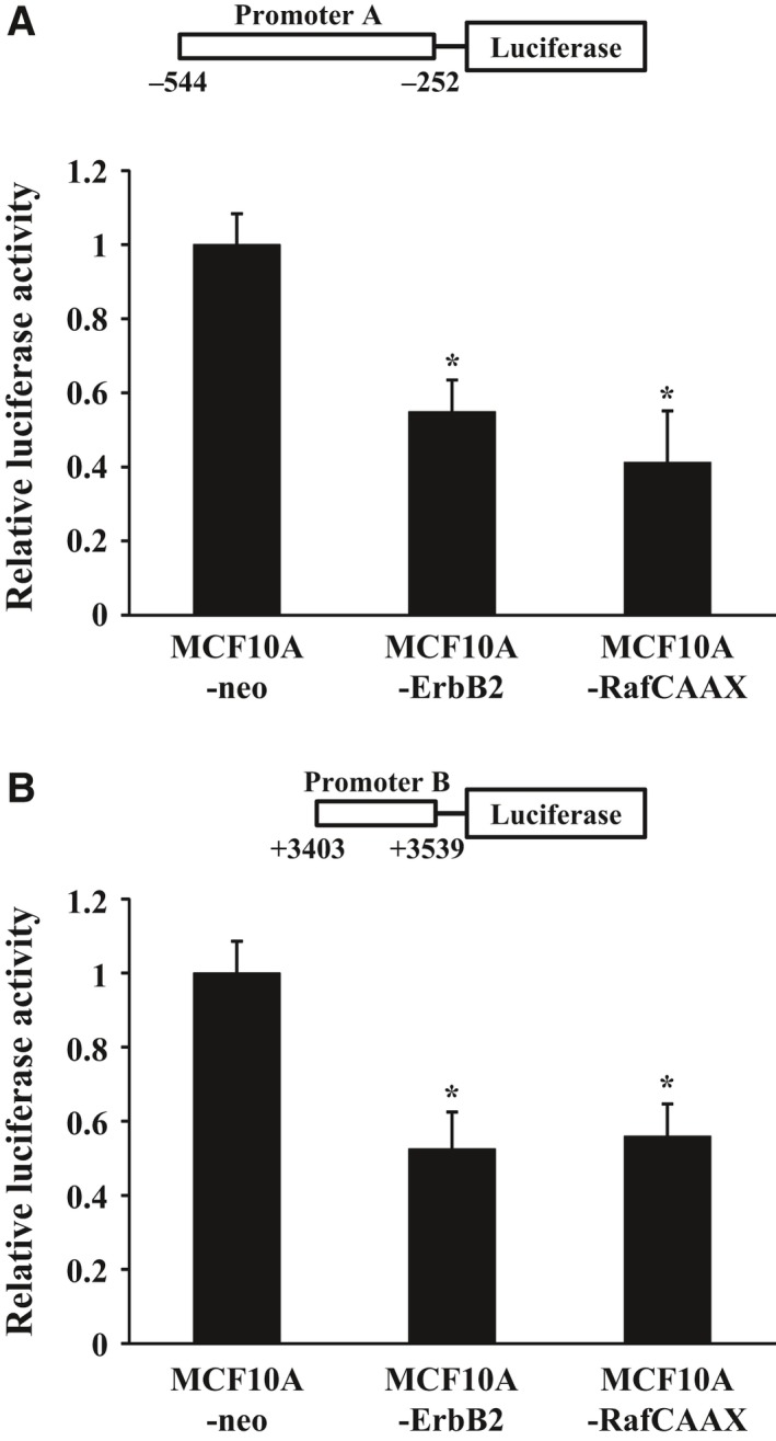 Luciferase reporter analysis of the miR‐205 promoters. MCF 10A‐Raf CAAX , MCF 10A‐ErbB2, and MCF 10A‐neo cells were transiently cotransfected with pGL 4.74 Renilla luciferase plasmid and reporter plasmid of promoter A (A) or with pGL 4.74 Renilla luciferase plasmid and reporter plasmid of promoter B (B). At 36 h post‐transfection, luciferase activities were measured. Data are normalized to pGL 4.74 Renilla luciferase plasmid control and represented as mean ± SEM of three independent experiments. * P