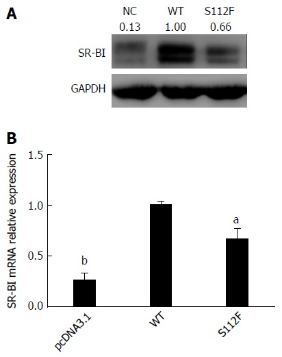 Effects of the single amino acid mutant on class B scavenger receptor I mRNA and protein expression. A: Effect of the single amino acid mutant on SR-BI protein expression. Huh7-siSR-BI cells were seeded in 24-well plates, cultured overnight, and transfected with pcDNA3.1 (NC), pcDNA-SR-BI, or pcDNA-SR-BI/S112F. Cells were harvested 72 h after transfection and lysed with RIPA cell lysis buffer; Western blot was performed to analyze the expression of the SR-BI protein. B: Effect of the single amino acid mutant on the SR-BI mRNA level. Huh7-siSR-BI cells were seeded in 24-well plates, cultured overnight, and then transfected with pcDNA3.1 (NC), pcDNA-SR-BI (WT), or pcDNA-SR-BI/S112F (S112F). Cells were harvested 72 h after transfection and RNA was isolated and the level of the SR-BI mRNA was analyzed using qRT-PCR ( a P