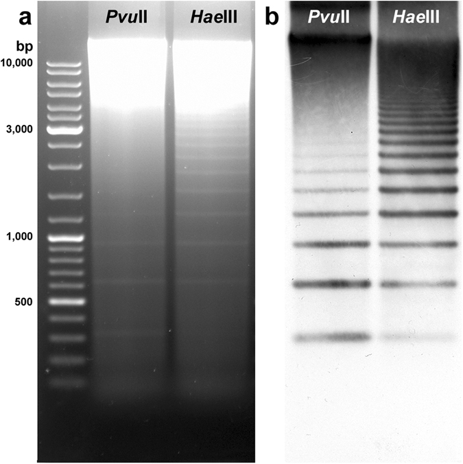Southern blot hybridisation analysis of SSUsat repeats in Spisula subtruncata . Agarose gel electrophoresis of Pvu II and Hae III digested genomic DNA of Spisula subtruncata showing ladder-like multimer bands of a 315 bp monomer unit ( a ). After being Southern blotted on a nitrocellulose membrane, the electrophoresed DNA was hybridised with an SSUsat monomer probe yielding identical ladder-like multimer bands of a 315 bp monomer unit ( b ).