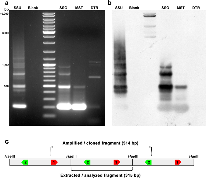 PCR amplification and Southern blot hybridisation of SSUsat in different bivalve species. Agarose gel electrophoresis of the SSUsat fragments obtained after PCR amplifying genomic DNA of Spisula subtruncata (SSU), Spisula solida (SSO), Mactra stultorum (MST) and Donax trunculus (DTR) using primers derived from the SSUsat consensus sequence (a) . Corresponding Southern blot hybridisation using an SSUsat probe ( b ). Blank represents PCR reaction without DNA template. ( c ) Scheme of tandemly organized SSUsat monomers showing the locations of the inversely orientated PCR primers (SSUsatPR1 in red, SSUsatPR2 in green).