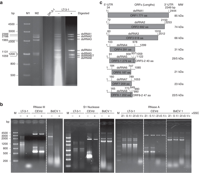 """Electrophoresis analysis, enzyme treatment, and genomic characteristics and organization of the eight dsRNA segments extracted from mycelia of Colletotrichum camelliae strain LT-3-1. a Electrophoretic profiles on a 1.2% agarose gel of dsRNA preparations from strain LT-3-1 before (−) and after (+) digestion with DNase I and S1 nuclease, and from strain DP-3-1 after digestion with both enzymes. Nucleic acid sizes are indicated beside the gels. b Electrophoresis analysis of enzyme-treated nucleic acid samples on 1.2% agarose gels. The samples were treated with RNase III, S1 nuclease and RNase A (in 2× and 0.1× SSC), respectively. """"−"""" and """"+"""" refer to incubated in the reaction buffer without and with the enzyme, respectively. CEVd and BdCV 1, ssRNA transcripts from dimeric cDNAs of citrus exocortis viroid ( CEVd ), and dsRNA extracts from mycelia of Botryosphaeria dothidea chrysovirus 1 ( BdCV 1 ), respectively. The upper bands on the lane of CEVd sample correspond to the remnant plasmid used for transcription, and the lower bands to the transcripts (two bands due to conformation difference). c Genomic organization of dsRNAs 1–8 showing putative open reading frames ( ORFs ) and untranslated regions ( UTRs ). The dot line refers to the separation of the both gels migrated in separate lanes with treatments in parallel"""
