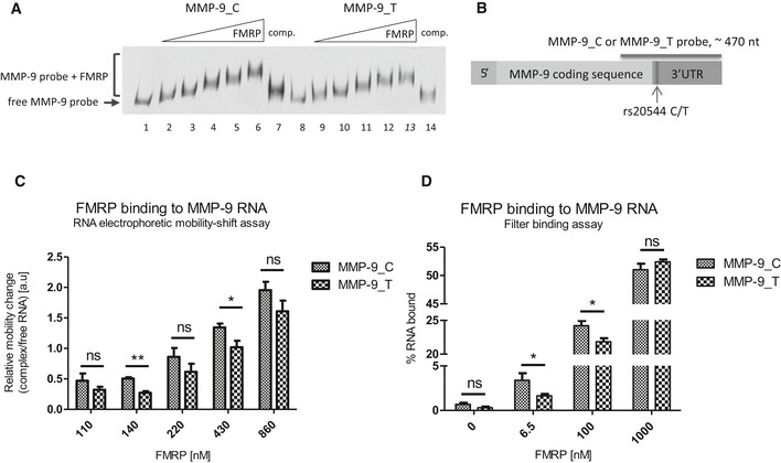 rs20544 C/T polymorphism affects FMRP binding to MMP ‐9 RNA molecule Representative RNA electrophoretic mobility shift assay (REMSA) results. Labeled MMP‐9 RNA probe was incubated in the absence (lanes 1 and 8) or presence of increasing amounts of purified FMRP (lanes 2–6 and 9–13). 20× molar excess of unlabeled probe was added as a competitor to confirm the specificity of the interaction (lanes 7 and 14). Scheme of MMP‐9 mRNA indicating the location of the rs20544 polymorphism and part of the sequence that was used as a probe in the REMSA (A, C) and filter binding assay (D). Quantification of REMSA experiments. The relative mobility change of the protein–RNA complexes from the corresponding free probe band was plotted against increasing FMRP concentrations. For each FMRP concentration, the average distance of the shifted complex/free probe band was calculated from at least three independent experiments. Quantification of filter binding assay. The fraction of bound RNA was plotted against increasing FMRP concentrations. The data are from five independent experiments. Each column represents the mean counted from range of concentrations (indicated in Materials and Methods ), with the final concentration shown on the abscissa. Data information: Error bars indicate the SEM. * P