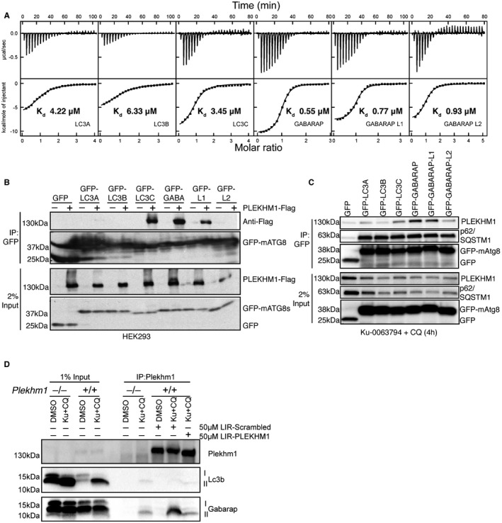 PLEKHM1 preferentially interacts with GABARAP in vitro and in vivo ITC titrations of PLEKHM1‐LIR peptide into LC3 family proteins (top panel) and GABARAP family proteins (bottom panel). The top diagrams in each ITC plot display the raw measurements, and the bottom diagrams show the integrated heat per titration step. Best fit is presented as a solid line. GFP‐tagged LC3/GABARAP proteins were expressed alone or with PLEKHM1‐WT‐Flag in HEK293T cells and immunoprecipitated using GFP‐Trap beads and blotted for the presence or absence of PLEKHM1 (anti‐Flag tag). Free GFP was observed in lanes three to six (GFP‐LC3A and GFP‐LC3B) potentially due to lysosomal turnover. GFP‐LC3/GABARAPs were overexpressed in HeLa cells and treated for 4 h with KU‐0063794 (10 μM) plus chloroquine (20 μM), immunoprecipitated with GFP‐Trap beads and blotted for the presence of endogenous PLEKHM1. Plekhm1 +/+ or Plekhm1 −/− mouse embryonic fibroblasts were either treated with vehicle (DMSO) or treated for 4 h with KU‐0063794 (10 μM) plus chloroquine (20 μM). Samples were lysed in NP‐40 lysis buffer, and endogenous PLEKHM1 was immunoprecipitated in the presence of 50 μM PLEKHM1‐LIR peptide (KVRPQQ EDEWVNV QYPDQPE) or 50 μM Scrambled (Scr) PLEKHM1‐LIR peptide (VQEQQEPPPVKNYDVEQWDR). Samples were then immunoblotted for the presence of endogenous PLEKHM1, LC3B and GABARAP proteins. Source data are available online for this figure.
