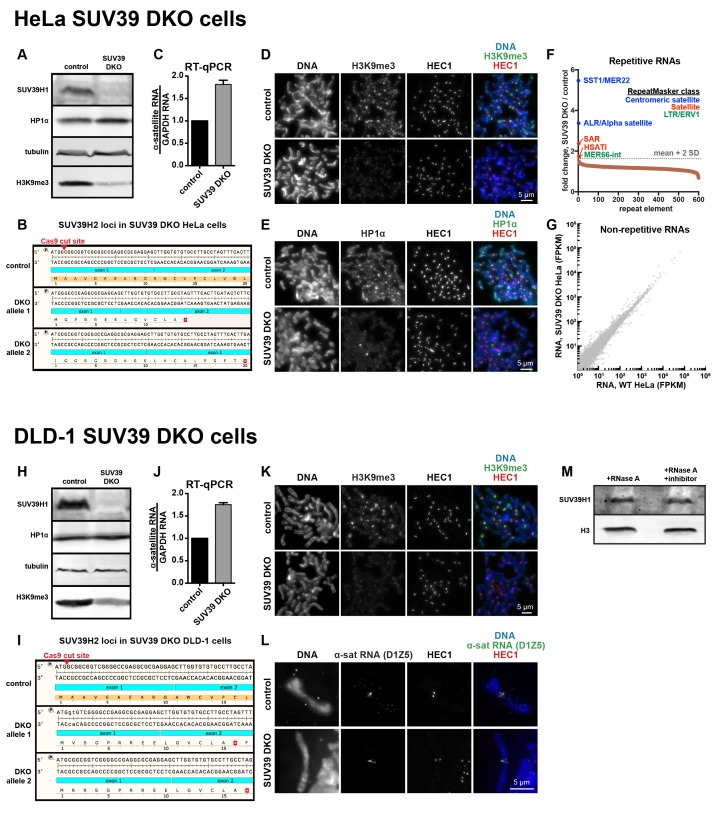 Characterization of SUV39 DKO human cells. ( A ) Western blot analysis of HeLa SUV39 DKO cells, assessing total SUV39H1, HP1α, tubulin, and H3K9me3 levels. ( B ) Analysis of SUV39H2 loci in HeLa SUV39 DKO cells. A section of the SUV39H2 gene surrounding the targeted Cas9 cut site was PCRed from genomic DNA and sequenced. Two mutant alleles were identified, and both lead to an early translation termination of SUV39H2. ( C ) α-satellite RNA levels in HeLa SUV39 DKO cells were measured by reverse transcription followed by quantitative PCR (RT-qPCR). Total RNA was isolated from HeLa control and HeLa SUV39 DKO cells, then reverse transcribed and amplified with α-satellite or GAPDH primers. Shown is average of 5 independent measurements, normalized to control cells, error bars are standard error. ( D ) H3K9me3 localization in control or SUV39 DKO HeLa cells. Mitotic cells were spread onto coverslips, then stained for DNA (blue), H3K9me3 (green), and HEC1 (red) to mark core centromere/kinetochore regions. ( E ) HP1α localization in control or SUV39 DKO HeLa cells. Mitotic cells were spread onto coverslips, then stained for DNA (blue), HP1α (green), and HEC1 (red) to mark core centromere/kinetochore regions. ( F ) Analysis of repetitive RNAs in HeLa SUV39 DKO cells. Total RNA was isolated from HeLa control and HeLa SUV39 DKO cells, and a cDNA library was generated and sequenced. Fold change in RNAs (SUV39 DKO / control) transcribed from different repeat types were plotted as a rank order from highest to lowest. Repeat types with over 300 reads were included. The horizontal gray dotted line represents a cutoff of 2 standard deviations from the mean of the dataset. Brown dots represent repeat types that fall under two standard deviations from the mean. Repeats that were enriched more than two standard deviations from the mean are labeled, and colors represent the RepeatMasker broad repeat class to which that repeat type belongs. ( G ) Comparative analysis of non-repetitive RN