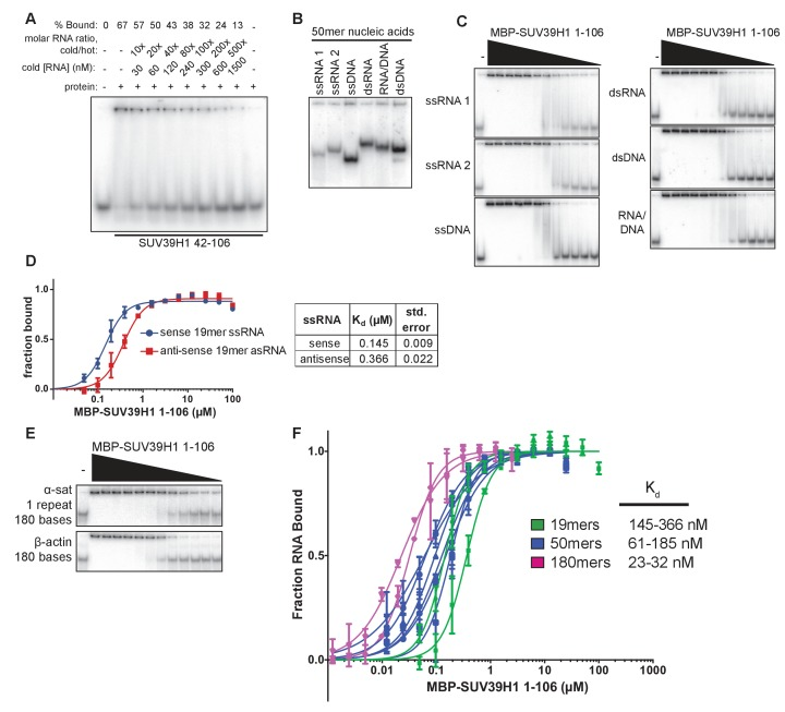 Characterization of SUV39H1-RNA binding in vitro. ( A ) Competitive binding assay measuring the ability of unlabeled 19mer ssRNA to compete with the interaction of labeled 19mer ssRNA binding to MBP-SUV39H1 42–106. MBP-SUV39H1 42–106 present at 12.4 μM, labeled RNA at approximately 3 nM, and unlabeled RNA at concentrations ranging from 30 to 1500 nM. Percent labeled RNA bound is quantified and listed. ( B ) Various nucleic acids oligonucleotides consisting of the first 50 bases of E. coli MBP run out on a native polyacrylamide gel. Oligonucleotides were annealed to create various nucleic acids and end labeled with radioactive 32 P. ssRNA 1, sense MBP 1–50; ssRNA 2, anti-sense MBP 1–50; ssDNA, sense MBP 1–50. ( C ) Representative EMSAs showing the binding of purified MBP-SUV39H1 1–106 and to various nucleic acids, all composed of the E. coli MBP 1–50 sequence, shown in B. Protein is diluted 2-fold from 25 μM. Quantification in Figure 3E . ( D ) Left, binding curves showing binding of MBP-SUV39H1 1–106 and either sense or anti-sense 19mer ssRNA, protein diluted 2-fold from 100 µM. Error bars are standard deviation from two independent experiments. Right, dissociation constants (K d , μM) determined by non-linear fitting of the binding curves. Standard error represents the error of the curve fitting to the average of two experimental replicates. ( E ) Representative EMSAs showing binding of purified MBP-SUV39H1 1–106 to 180 bases of either α-satellite or β-actin ssRNA. Protein diluted 2-fold from 2.5 μM. Quantification in Figure 3F . ( F ) SUV39H1 affinity increases as length of nucleic acid increases. Binding curves compiled from Figure 3E and F (50mers and 180mers, respectively) and D ) (19mers) showing the binding of MBP-SUV39H1 1–106 to various nucleic acid types. 19mer random sequence: sense and antisense ssRNA; 50mer MBP 1–50: sense and antisense ssRNA, ssDNA, dsRNA, dsDNA, and RNA/DNA hybrid; 180mers: α-satellite and β-actin ssRNA. All sequences are described in the materials and methods. Error bars are standard deviation from two independent experiments. Dissociation constants (K d , μM) displayed on graph are determined by non-linear fitting of the binding curves. Standard error represents the error of the curve fitting to the average of two experimental replicates. DOI: http://dx.doi.org/10.7554/eLife.25299.009