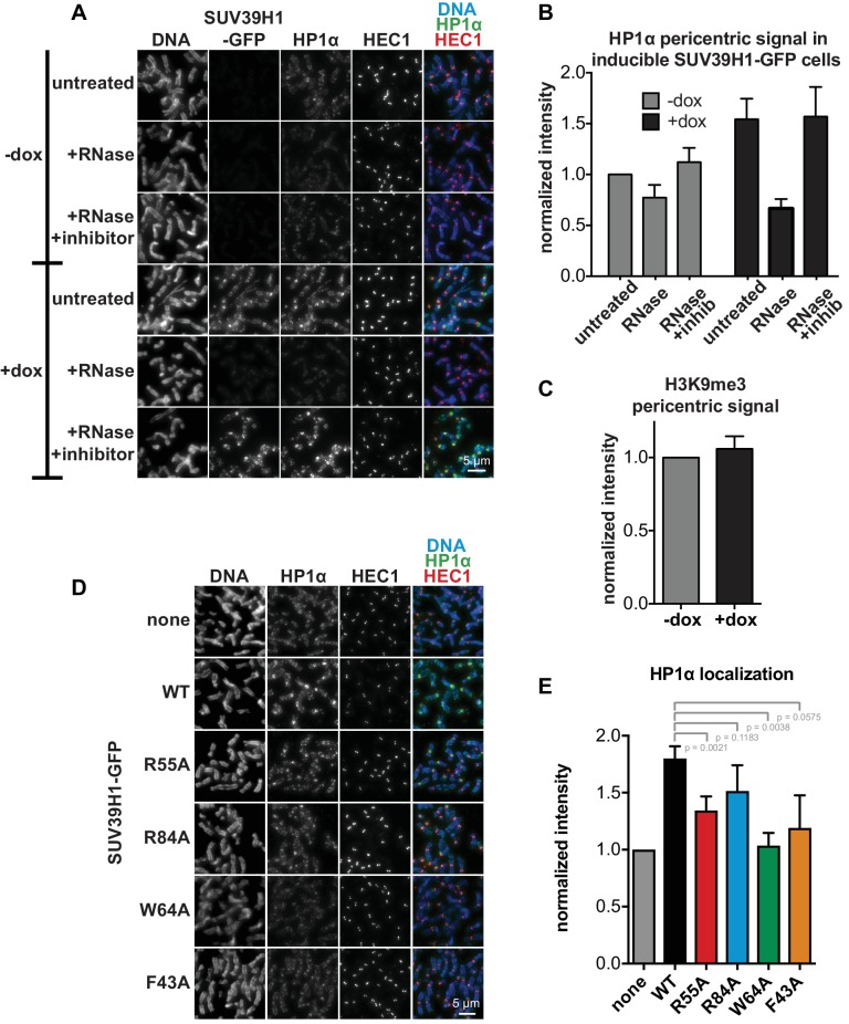 HP1α localization correlates with SUV39H1 localization, despite no change in H3K9me3 levels. ( A ) Representative images of HP1α and SUV39H1-GFP localization on HeLa mitotic chromosomes after RNase treatment. Expression of SUV39H1-GFP was induced or not for 6 hr (+/- dox), then mitotic cells were spun onto coverslips and incubated without RNase, with RNase A, or with RNase A plus RNase inhibitors. Cells were then stained for DNA (blue), with an anti-GFP antibody to detect SUV39H1-GFP, HP1α (green), and HEC1 to mark centromeres (red). ( B ) Quantification of HP1α at pericentric regions from experiment shown in A. Each experiment was normalized to the untreated -dox measurement. Bars are the average of n = 5 separate experiments, 15 cells quantified per condition per experiment, error bars represent standard error. ( C ) Quantification of H3K9me3 at pericentric regions in HeLa cells with or without exogenous expression of SUV39H1-GFP for 6 hr (+/- dox). Bars are the average of n = 3 separate experiments, 15 cells quantified per condition per experiment, error bars represent standard error. ( D ) HP1α localization is reduced in cells expressing mutant SUV39H1-GFP compared to cells expressing WT SUV39H1-GFP. Expression of SUV39H1-GFP, WT or mutants, was induced or not for 6 hr (-/+ dox) in HeLa Flp in TREx cell lines. Mitotic cells were spun onto coverslips and stained for DNA (blue), HP1α (green), and HEC1 to mark centromeres (red). ( E ) Quantification of HP1α at pericentric regions from experiment shown in D. Each experiment was normalized to the wildtype measurement. Bars are the average of n = 5 separate experiments, 15 cells quantified per condition per experiment, error bars represent standard error. P values were calculated with paired, two-tailed t tests. DOI: http://dx.doi.org/10.7554/eLife.25299.015