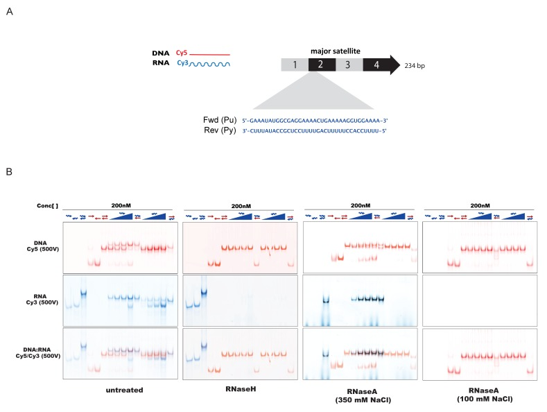 In-vitro characterization of substrate specificity of <t>RNaseH</t> and <t>RNaseA.</t> ( A ) 35 nt 5'-Cy3-labeled RNA and 5'-Cy5-labeled DNA oligonucleotides spanning the second sub-repeat of the MSR consensus sequence were used to characterize the in vitro substrate specificity of RNaseH (Epicenter) or RNaseA (ThermoFisher Scientific). ( B ) ssRNA and ssDNA oligonucleotides were heat-denatured and gradually cooled to allow the formation of duplex structures (dsDNA, dsRNA and RNA:DNA hybrids). Formation of RNA:DNA hybrids was achieved by titrating increasing amounts of ssRNA (100 nM – 400 nM) onto a dsDNA template (200 nM). Equimolar amounts of single and double-stranded oligonucleotides were subjected to native PAGE and their migration was visualized by scanning the Cy3 and Cy5 fluorescent signals on a Typhoon FLA 9500 fluorescence scanner at 500V (first panel, untreated). Single-stranded and double-stranded oligonucleotides were incubated with 10 U of RNaseH before being resolved by PAGE. Scanning of the Cy3 fluorescent signal shows depletion of ssRNA oligonucleotides only when these are forming a heteroduplex with ssDNA (second panel, RNaseH). Incubation of single and double-stranded oligonucleotides with 10 μg of RNaseA at high salt concentrations (350 mM NaCl) reveals digestion of ssRNA, while dsRNA and RNA:DNA hybrids remain mostly intact (third panel, RNaseA 350 mM NaCl). Complete digestion of ssRNA, dsRNA and RNA forming RNA:DNA hybrids was observed when RNaseA treatment was performed under low salt conditions (100 mM NaCl) (fourth panel, RNaseA 100 mM NaCl). DOI: http://dx.doi.org/10.7554/eLife.25293.011
