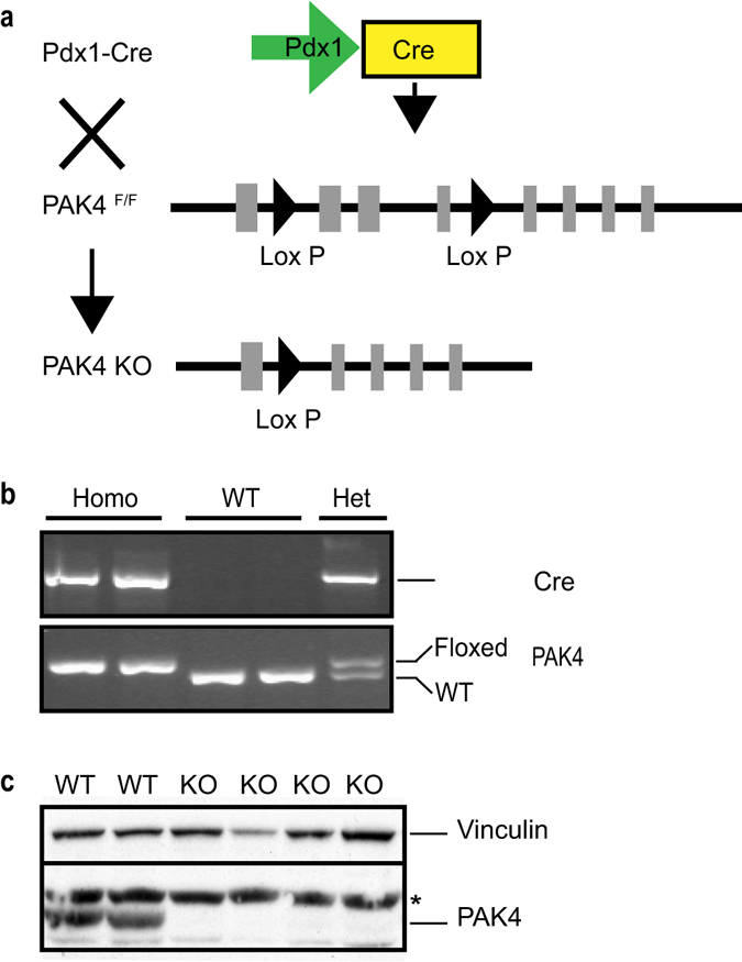 Generation of a mouse model for conditional PAK4 gene depletion in the pancreas. ( a ) Graphical representation of our strategy for generation of a mouse model with conditional PAK4 gene depletion in the pancreas. Exons are indicated by light grey rectangles and Lox P sites are indicated by black triangles. Pdx1-driven Cre expression and consequent recombination of LoxP sites results in the depletion of exons 2–4 in the mouse PAK4 gene as previously described 26 . ( b ) <t>PCR</t> analysis of genomic <t>DNA</t> from 12 days old mouse tails. Upper panel shows the presence of the Pdx1-Cre allele and the lower panel shows PAK4; the upper band in the lower panel displays the floxed PAK4 allele, while the lower band in the lower panel displays a PAK4 WT allele. Thus, appearance of the upper band alone displays homozygous floxed PAK4 allele; the lower band alone represents WT PAK4 allele; while both bands together mean that the mouse is PAK4 heterozygous, i.e. one WT and one floxed allele. Full gels are showed in supplementary Fig. S1a and S1b . ( c ) PAK4 deletion in the mouse pancreas. Immunoblot analysis of pancreatic whole cell lysates shows PAK4 expression in WT pancreas, whereas PAK4 protein expression is below the detection limit in PAK4 homozygous KO mice. Vinculin was used as a loading control. *Shows unspecific bands. Full blot is showed in supplementary Fig. S1c .