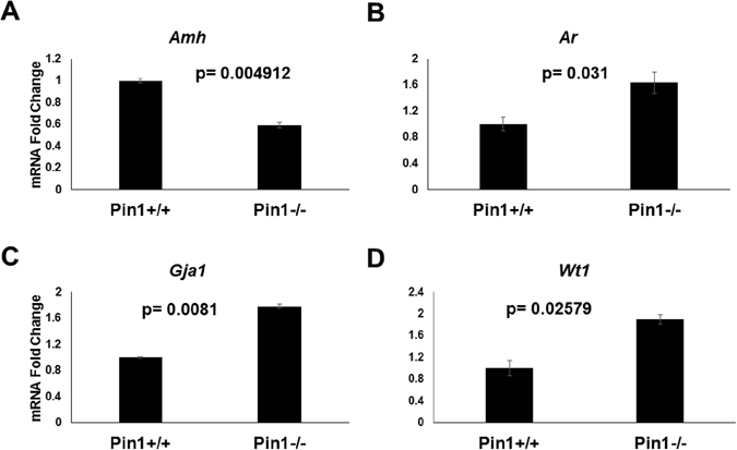 Sertoli cell markers are dysregulated in Pin1 −/− testes. ( A ) Amh (antimüllerian hormone) mRNA transcript expression was analyzed in Pin1 +/+ and Pin1 −/− testes. ( B ) Ar (androgen receptor) and ( C ) Gja1/connexin 43 mRNA levels were also analyzed in the same tissue. ( D ) The expression profile of the Sertoli cell-specific marker Wt1 (Wilms tumor) was analyzed by <t>qRT-PCR.</t> RNA from whole snap-frozen testicular tissue was extracted by Trizol digestion after homogenization using a mortar. qRT-PCR was performed using <t>Sybr</t> green reagent in an Applied Biosystems 2500 thermocycler.