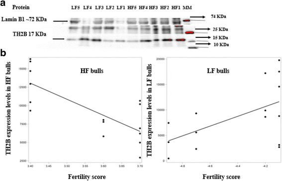 Detection of <t>TH2B</t> protein using Western blotting and regression models showing variation in the intensity of TH2B in sperm as related to fertility scores in Holstein bulls. a MM stands for molecular markers; LF1–5 and HF1–5 refer to samples from low vs. high fertility bulls, respectively. The same amounts of nuclear proteins were loaded into each lane. As TH2B is a nuclear protein and the expression levels of our internal control (Lamin B1) were not stable, another protein band (~25 KDa) served as the internal control. b The regression line was determined using the model predicted intensity values for each fertility score using the mixed effects model. A scatter plot of unadjusted data points was superimposed on the regression line plot. Regression equations are shown for high fertility ( y = −22,315 × + 89,049) and low fertility ( y = 9603 × + 50,993) bulls