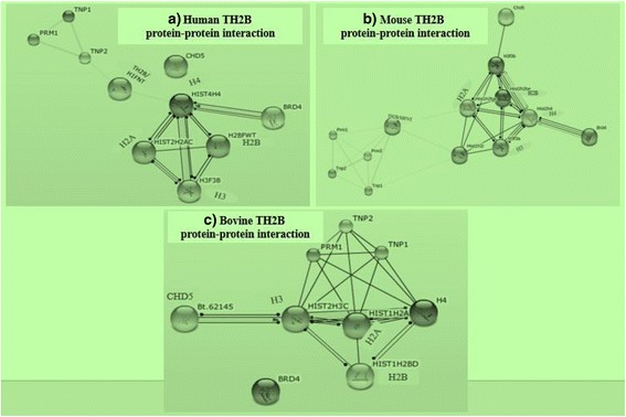 Protein-protein interactions involving TH2B. TH2B/H1FNT involved in replacement of TNPs by protamines in human and mouse are depicted in ( a ; b ) and the missing link with possibly same role in bovines ( c )