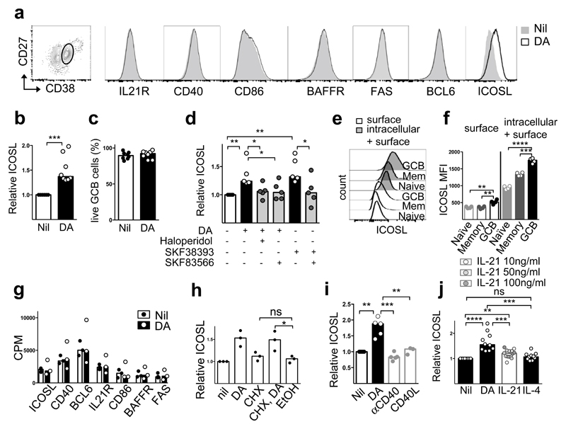Dopamine induces ICOSL upregulation on human GC B cells. a , Gating of GC B cells and fluorescence intensity of specified proteins 30 minutes after stimulation with DA (10μM) (n=3). b , Fold changes of surface ICOSL expression with medium control set as unit 1 (n=8). c , Survival of GC B cells after DA stimulation (n=8). d , Fold changes of surface ICOSL expression on GC B cells stimulated with DA (10μM), DA agonist SKF38393 (10nM), Haloperidol (50nM) and DA antagonist SKF83566 (10nM) for 30 min, with medium control set as unit 1 (n=5). e , f , Representative histograms ( e ) and quantification ( f ) of surface and intracellular ICOSL on naïve, memory and GC B cells (n=4); Mann-Whitney test. g , RNA counts per million (CPM) of indicated transcripts in human GC B cells stimulated with or without DA (5μM) for 2h (n=3). h , Fold changes of surface ICOSL expression on human GC B cells treated with cycloheximide (CHX, 10 μg/ml) and stimulated with DA (10μM) for 30 min. i, j, Fold changes of surface ICOSL expression on human GC B cells stimulated with DA (10μM), anti-CD40 (1 μg/ml) or recombinant CD40L (10 μg/ml) ( i ), IL-21 (10, 50 or 100 ng/ml) or IL-4 (10 νγ/ml) ( j ) for 30 min (n=5). b, d, h-j , Bars represent medians and each dot represents a single experiment conducted in triplicate (n=10); two tailed student t-test. ns, not significant, *p ≤ 0.05, **p ≤ 0.01, ***p ≤ 0.001 and ****p ≤ 0.0001.