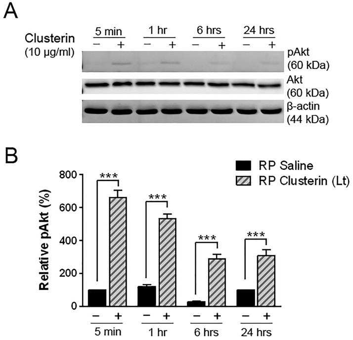 Induction of pAkt by clusterin in RP retina. Immunoblot analysis of phosphorylated Akt (60kDa) was examined in saline- and clusterin-treated RP retinas (A). Retinas were collected at 5 min, 1 hour, 6 hours, and 24 hours after injection at P15. Activation of Akt was detected as early as 5 min after clusterin injection. The saline-treated retinas (-) showed lower activation of Akt at different time points, compared to the clusterin-treated retinas (+). Densitometry analysis of immunoblots for phosphorylation of Akt by clusterin was generated in histogram (B). Beta-actin served as the loading control to gain relative pAkt activation value. Data represents mean ± SEM, *** P