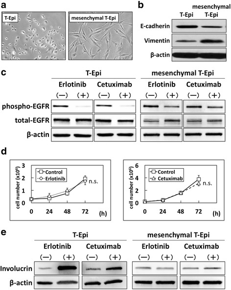 Resistance to EGFR inhibitors in mesenchymal T-Epi cells. T-Epi cells were treated with recombinant TGF-β1 (5 ng/mL) for 14 days to establish mesenchymal T-Epi cells. Mesenchymal T-Epi cells were cultured with normal KSFM medium (TGF-β1 free) for 24 h, and then parental T-Epi and mesenchymal T-Epi cells were treated with erlotinib or cetuximab. a Phase-contrast images of parental T-Epi cells and mesenchymal T-Epi cells. Note that T-Epi cells treated with TGF-β1 changed to spindle-shaped cells. b Protein levels of E-cadherin and vimentin in parental T-Epi and mesenchymal T-Epi cells, determined by western blotting. c Phosphorylated- and total-EGFR protein levels in parental T-Epi and mesenchymal T-Epi cells treated with erlotinib or cetuximab, determined by western blotting. The inhibitory effect of EGFR phosphorylation due to EGFR inhibitors was lower in mesenchymal T-Epi cells compared with parental T-Epi cells. d Cell growth of mesenchymal T-Epi cells treated with or without erlotinib or cetuximab. The results are presented as means ± SD (bars). (n.s., not significant, vs vehicle control; n = 3) Inhibition of cell growth was not observed in mesenchymal T-Epi cells. e Involucrin protein levels in parental T-Epi and mesenchymal T-Epi cells treated with or without erlotinib or cetuximab, determined by western blotting. The promotion of involucrin expression due to treatment with EGFR inhibitors was more suppressed in mesenchymal T-Epi cells compared with parental T-Epi cells