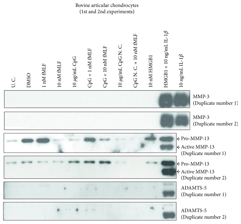In the initial two experiments with bovine chondrocytes, HMGB1 synergized with IL-1 β on upregulating metalloproteinase production while MTDs (fMLF and <t>CpG</t> <t>DNA)</t> or HMGB1 alone showed little effect. Cells were harvested from cartilage in bovine stifle joints and cultured for 1 week. Passage 1 cells were treated with MTDs, HMGB1, and/or IL-1 β . After 24 hrs, culture medium was collected, dialyzed, and concentrated. The expression of MMPs in each medium sample was determined with Western blotting. U. C. = untreated control; CpG = CpG-rich DNA; CpG N. C. = CpG-rich DNA negative control.