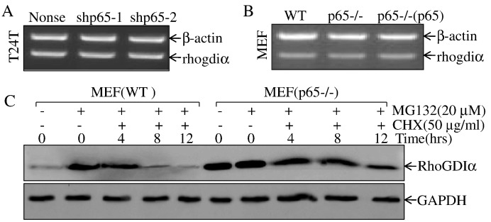 p65 promoted degradation of RhoGDIα protein. (A B) T24T(shp65-1), T24T(shp65-2) vs. T24T(nonsense) or MEF(p65−/−), MEF[p65−/−(p65)] vs. MEF(WT) cells were extracted for total RNA with Trizol reagent. RT-PCR assay was used to determine RhoGDiα mRNA expression. β-Actin was used as an internal control. (C) The indicated cells were pretreated with proteasome inhibitor MG132 for 10 hours and were then followed by treatment of cells with CHX for the indicated times. The cell extracts were subjected to Western blot, and GAPDH was used as a protein loading control.