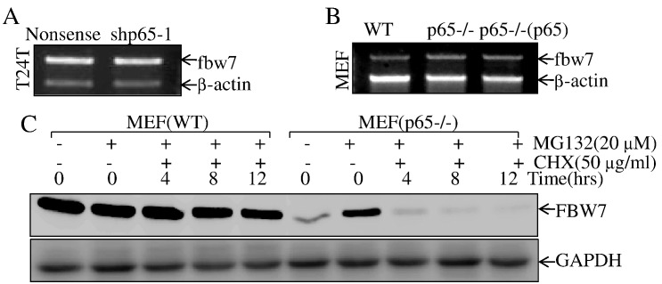 p65 inhibited E3 ligase FBW7 degradation. (A B) T24T(shp65-1) vs. T24T(nonsense) or MEF(p65−/−), MEF[p65−/−(p65)] vs. MEF(WT) cells were extracted for total RNA with Trizol reagent. RT-PCR assay was used to determine fbw7 mRNA expression. β-Actin was used as an internal control. (C) The indicated cells were pretreated with proteasome inhibitor MG132 for 10 hours, and the cells were then treated with CHX for the indicated times. Then cell extracts were subjected to Western blot, and GAPDH was used as a protein loading control.