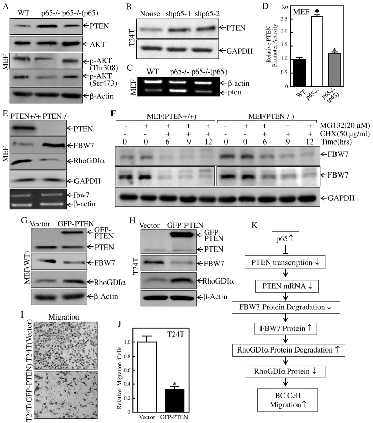 PTEN was p65 a downstream effector and promoted FBW7 protein degradation and inhibited BC migration. (A) The indicated cell extracts were subjected to Western blot to determine protein expression of PTEN, AKT, p-AKT(Thr308), and p-AKT(Ser473). (B) The indicated cell extracts were subjected to Western blot to determine protein expression of PTEN. GAPDH was used as a protein loading control. (C) MEF(p65−/−), MEF[p65−/−(p65)] vs. MEF(WT) cells were extracted for total RNA with Trizol reagent. RT-PCR assay was used to determine pten mRNA expression. β-Actin was used as an internal control. (D) Human PTEN promoter-driven luciferase activity was evaluated in MEF(p65−/−), MEF[p65−/−(p65)] and MEF(WT) cells. The results were normalized by internal TK activity. Bars represent mean ± SD from three independent experiments. Student's t test was utilized to determine the P value. The symbol (♣) indicates a significant increase as compared with MEF(WT) cells ( ♣ P