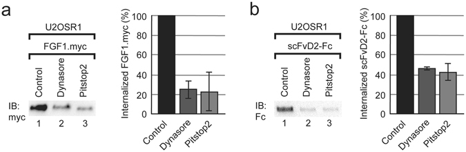Internalization of FGF1 and scFvD2-Fc occurs via clathrin mediated endocytosis. Internalization of FGF1.myc ( a ) and scFvD2-Fc ( b ) into U2OSR1 cells was studied in the presence of inhibitors of dynamin (Dynasore; 80 µM) and clathrin (Pitstop2; 30 µM). Densitometric quantification of FGF1.myc and scFvD2-Fc internalization was performed with ImageJ from 3 independent experiments. Fraction of internalized FGF1.myc and scFvD2-Fc after treatment with inhibitors is represented as a percentage of untreated control. Error bars represent standard deviation. Cropped blots were displayed, full size blots are included in Supplementary Information.