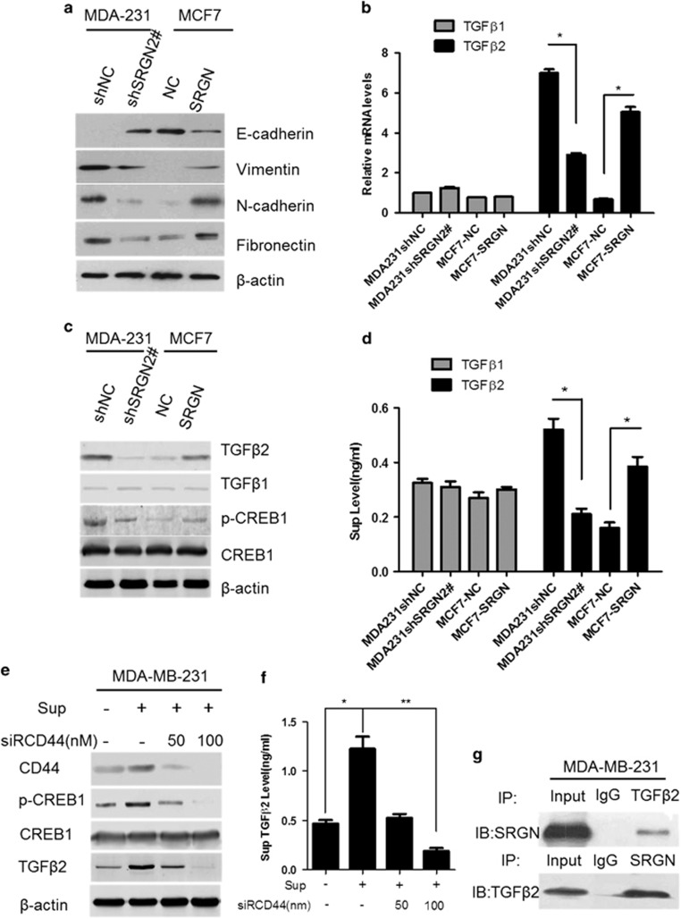SRGN induces TGFβ2 expression and activates EMT formation. ( a ) Representative western blots of EMT-related markers in MDA-MB-231/shSRGN2#, MDA-MB-231/shNC, MCF7/NC and MCF7/SRGN stable cells. ( b ) Real-time PCR of TGFβ1 and TGFβ2 expression after interference and overexpression of SRGN. * P