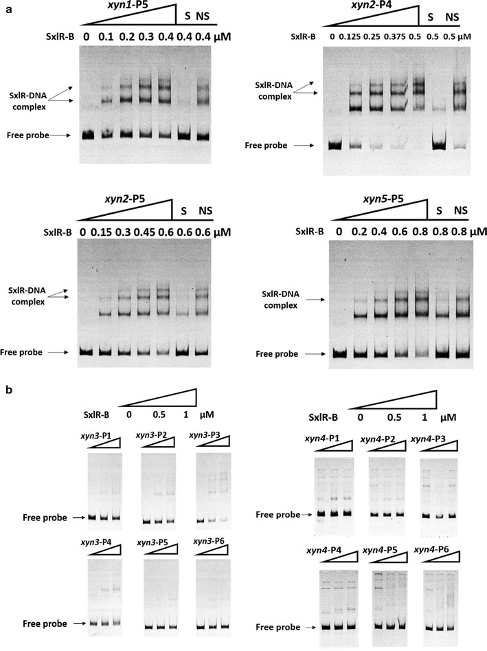 EMSAs of SxlR binding to the promoter regions of xylanase genes. a DNA binding of SxlR to the promoter regions of xyn1 , xyn2 , and xyn5 . The amounts of purified SxlR binding domain (SxlR-B, μM) used were as indicated; ~10 ng of Cy5-labeled probe was added to each reaction. The shifts were verified to be specific by adding 100-fold excess of unlabeled specific (S) and non-specific (NS) competitor DNA. The SxlR-DNA complex is indicated by the arrow . b DNA binding of SxlR to the xyn3 and xyn4 promoter regions. We used three concentrations of SxlR-B: 0, 0.5, and 1 μM; ~10 ng of Cy5-labeled probe was added to each reaction