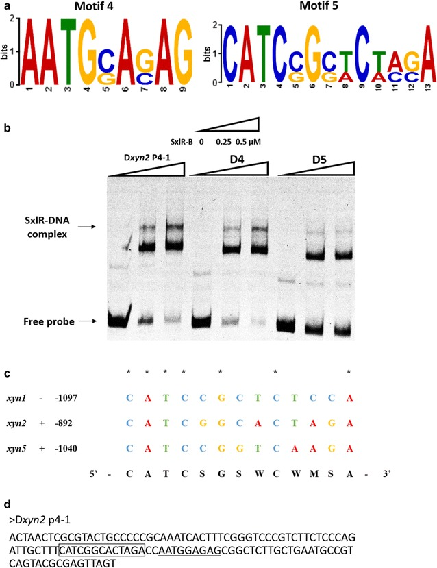Identification of the SxlR binding consensus sequence. a Sequence motifs of a putative SxlR binding consensus sequence derived by MEME from D xyn2 -P4-1, D xyn1 -P5-2 and D xyn 5-P5-2. Two putative SxlR binding consensus sequences were obtained. b EMSA results of SxlR binding to D xyn2 P4-1, D4 (Motif 4 deletion), and D5 (Motif 5 deletion); the SxlR-DNA complex is indicated by the arrow . The amounts of purified SxlR binding domain (SxlR-B, μM) used were as indicated; ~10 ng of Cy5-labeled probe was added to each reaction. c Alignment of SxlR binding consensus sequence on sense (+) or antisense (−) strand in the upstream regions of xyn1 , xyn2 , and xyn5 . The numbers following the gene name indicated the point of the 5′ starting nucleotide relative to the translation start point and the same nucleotide was indicated by asterisk . d The location of motif 4 and motif 5 in D xyn2 P4-1 probe. Motif 4 was indicated by underline while motif 5 was indicated by pane