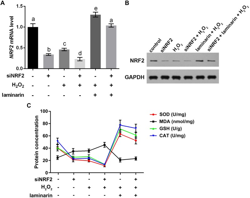 Nuclear factor erythroid 2 like 2 (NRF2) regulates oxidative damage in MRC-5 cells. NRF2 was knocked down by its specific siRNA (siNRF2), and cells were treated with hydrogen peroxide ( H 2 O 2 , 600 µM) and laminarin (0.020 mg/mL). Assays were performed at 24 h post treatment. (A) NRF2 mRNA level quantified by qPCR. (B) NRF2 protein level detected by Western blot. GAPDH was used as an internal reference. (C) Cellular concentration of superoxide dismutase (SOD), malondialdehyde (MDA), deduced glutathione (GSH) and catalase (CAT) quantified by biochemical assays. Values with different letters indicate statistical significance ( P