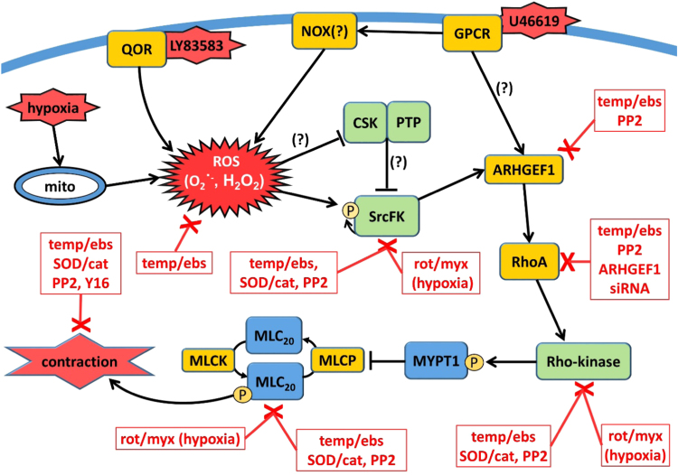 Graphical Summary. ROS-induced contractile signalling pathway in rat pulmonary artery. Reactive oxygen species (ROS: superoxide and H 2 O 2 ) generated in response to GPCR (presumably via NADPH-oxidase, NOX), LY83583 (via quinone oxidoreductase, QOR), or hypoxia (from mitochondria, mito), activate Src-family kinases (SrcFK) either via direct oxidation or via oxidative inhibition of c-Src kinase (CSK) or inhibitory tyrosine phosphatases (PTP). This is followed by sequential activation of ARHGEF1, RhoA and Rho-kinase, resulting in enhanced MYPT-1 and MLC 20 phosphorylation and contraction. Boxed red text indicates treatments/antagonists that inhibit responses or activity of each component in the pathway. Temp/ebs = antioxidants Tempol ebselen; SOD/cat = superoxide dismutase and catalase; PP2 = SrcFK inhibitor; rot/myx = mitochondrial electron transfer chain inhibitors rotenone myxothiazol; Y16 = inhibitor of RGS domain containing RhoAGEFs. Question mark indicates steps shown previously but not examined in this study.
