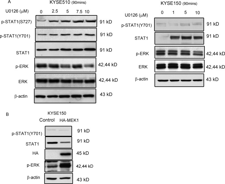ERK mediated STAT1 expression in ESCC ( A ) KYSE510 and KYSE150 cell lines were treated with increasing doses of U0126 for 90 min. Western blot analysis of p-STAT1, STAT1, p-ERK and ERK in total cell lysates are shown. ( B ) KYSE150 cells were transfected with a constitutive-active MEK expression (HA-ca-MEK) plasmid, and endogenous protein levels of p-STAT1 and STAT1 in the lysates were determined by immunoblotting. Similar results were observed in three independent experiments.