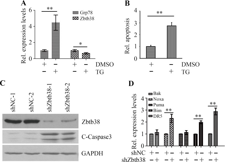 ER stress triggers Zbtb38-mediated apoptosis in SH-SY5Y cells ( A ) SH-SY5Y cells were treated with 1 μM TG for 24 hours and RNA was collected for QRT-PCR analysis. ( B ) Apoptosis of SH-SY5Y cells in the presence or absence of TG was determined by The Cell Death Detection Elisa Kit. ( C ) SH-SY5Y cells were transfected with scramble shRNA (shNC-1 and shNC-2) or shRNA against Zbtb38 (shZbtb38-1 and shZbtb38-2) for 72 hours and cell lysates were collected for Western blot analysis. ( D ) RNA from Zbtb38 knockdown SH-SY5Y cells (shZbtb38) and control cells (shNC) was collected for QRT-PCR analysis to determine the expression levels of pro-apoptotic genes. * p