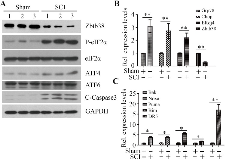 Decreased Zbtb38 expression levels are associated with increased ER stress-associated apoptosis in SCI mice ( A ) Kunming mice were divided into two groups underwent sham injuries (Sham) and SCI, respectively ( n = 10). The spinal cord samples were harvested from these mice on the day 4 after injury and cell lysates were collected for Western blot analysis. 1, 2, 3 indicate three different mice in each group. ( B, C ) RNA from these samples was collected for QRT-PCR analysis to determine the expression levels of ER stress markers (B) and pro-apoptotic genes (C). * p