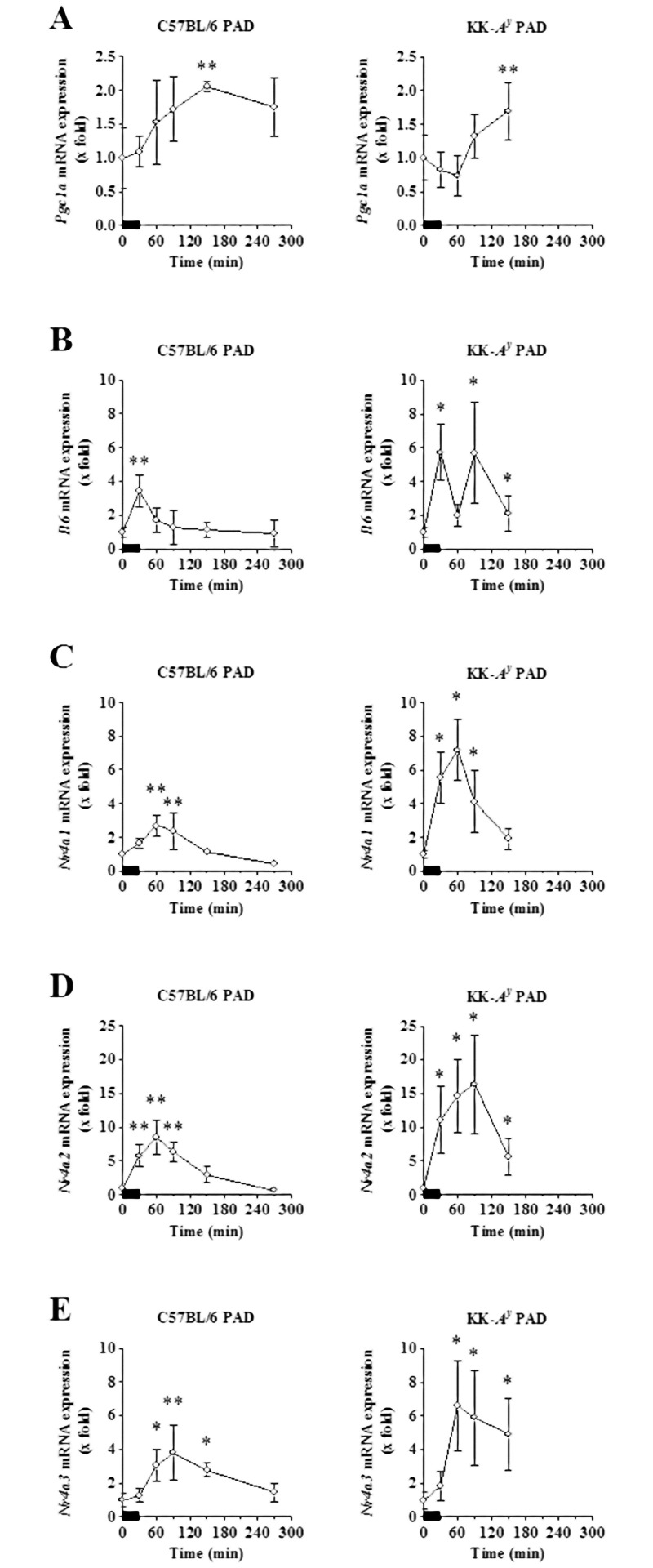 Acute effects of treadmill exercise on the mRNA expression of known exercise-responsive genes. The soleus muscles of exercised C57BL/6 PAD mice (n = 4 per time point, total 24, left panels) and KK- A y PAD mice (n = 6 per time point, total 30, right panels) were obtained before and after the fifth treadmill exercise session. The mRNA expression levels of Pgc1a (A), Il6 (B), Nr4a1 (C), Nr4a2 (D), and Nr4a3 (E) in the soleus muscles were determined by qRT-PCR, normalized to Rplp0 expression level, and calculated relative to the pre-exercise group (0 min). The results are expressed as the mean ± SD. * p