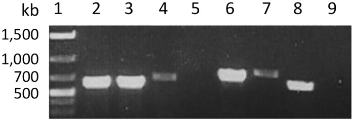 RT-PCR amplification of five cassava eIF4E ORFs with gene-specific primers. Total RNA was extracted from TMS60444 cassava line. The first-strand cDNA was synthesized using SuperScript ™ III Reverse Transcriptase (Invitrogen) and PCR was performed using <t>Phusion</t> High-Fidelity <t>DNA</t> polymerase (New England Biolabs) and primers indicated in Table 1 . Lane 1: DNA marker; Lane 2: 016601 CDS amplified with primers 016601F and 016601R; Lane 3: 016620 CDS amplified with primers 016620F and 016620R; Lane 4: 015501 CDS amplified with 015501F and 015501R, Lane 5: 013223 CDS amplified with primers 013223lF and 013223R, Lane 6, 013223 CDS amplified with primers 013223sF and 013223R; Lane 7: 013732 CDS amplified with 013732lF and 013732R; Lane 8: 013732 CDS amplified with 013732sF and 013732R; and Lane 9: negative water control.