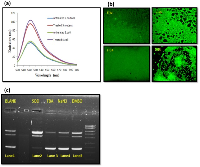 Reactive oxygen species experiments. (a) ROS production in presence of AgNPs in (a) E . coli (b) S . mutans . Error bars represent standard deviations of triplicate incubations. (b) Visualization of ROS generation by DCFH-DA green fluor probe in nanoparticle treated bacterial biofilms. AgNPs show the significant increment of green color fluorescence (ROS specific DCFH-DA probed) during 60 min incubation as compared to control bacterial biofilms. (i)a S . mutans control biofilm (i)b S . mutans treated biofilm. (ii)a E . coli control biofilm (ii)b E . coli treated biofilm. (c) Plasmid (DNA) cleavage assay in presence AgNPs (1.5 μg ml -1 ) and various free radical scavengers (DMSO, NaN3, TBA, and SOD). Lane 1, 3, 4 and 5 show the intact plasmid DNA; Lane 2 shows the cleaved plasmid DNA.
