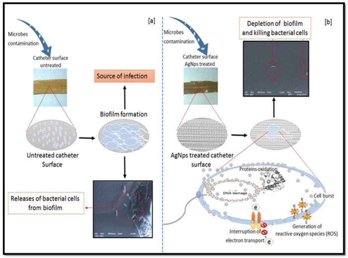Graphical presentation of the anti-biofilm potency of the nanoparticles on catheter surface using scanning electron microscopy. (a) Untreated catheter incubated bacterial biofilm (b) nanoparticles treated catheter showing inhibition of biofilm on nano-modified surface.