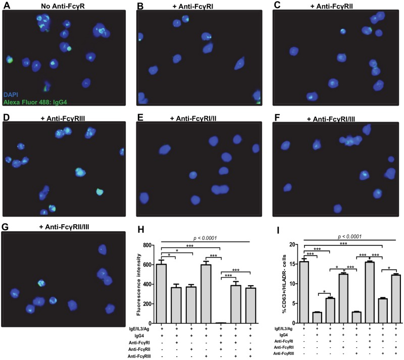 Anti-inflammatory IgG4 antibodies modulate granulocyte functions via FcγRI and FcγRII. Granulocytes from healthy blood donors were purified and stimulated with IL-3 (2 ng/ml), anti-IgE (25 ng/ml), and Brugia antigen extracts (10 μg/ml) and incubated with either medium or anti-FcγRI (2μg/ml), FcγRII (1 μg/ml) or FcγRIII (4 μg/ml) antibodies alone or in combinations. Thereafter granulocytes were incubated with 2.5 μg/ml of affinity purified IgG4 for 18 hours. The cells were then stained with DAPI (blue) and the presence of IgG4 was detected with anti-IgG Alexa fluor 488 antibody (green). A representative experiment out of 6 is shown: A-G are representative fluorescence microscopy images of granulocytes incubated with culture medium (A) or in the presence of blocking antibodies against FcγRI (B), FcγRII (C), FcγRIII (D) or a combination of antibodies against FcγRI and II (E), FcγRI and III (F), or FcγRII and III (G). Bars represent mean fluorescence intensities ± SEM (H) or the percentages of CD63+/HLADR- activated granulocytes (I) in 6 independent experiments. Statistical comparison was based on Kruskal-Wallis one-way ANOVA followed by Dunn post-hoc test. The indicated p-values refer to the significance level among all groups according to Kruskal-Wallis test. Asterisks indicate the level of differences after Dunn's multiple comparisons test; *: p