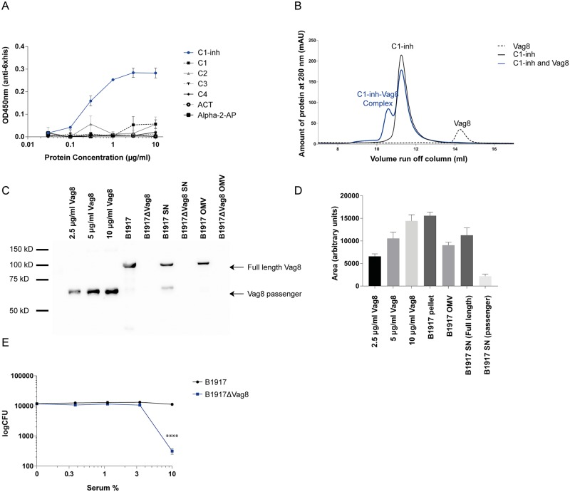 Vag8 binds C1-inh and is involved in serum resistance. (A) Vag8 binds to C1-inh in a dose dependent manner. No binding was observed to the serpins alpha-1-antichymotrypsin and alpha-2-antiplasmin or the complement components C1, C2, C3 and C4 by ELISA. (B) Vag8 forms a stable complex with C1-inh in fluid phase as shown by making use of the gel filtration chromatography method. (C) The successful construction of the B . pertussis B1917ΔVag8 mutant strain was confirmed by immunoblot. No Vag8 could be detected in the pellet or the bacterial supernatant or OMV's of B1917ΔVag8. In addition, the B . pertussis wild type strain B1917 expressed both the full length Vag8 as well as the passenger domain in the supernatant. (D) Using ImageJ, the intensity of the Vag8 bands were semi quantified relative to known concentrations of recombinant Vag8. We show that 10 7 bacteria of the B1917 parental strain contain 10 μg/ml Vag8 and 10 9 bacteria secrete 5–10 μg/ml of full length and 1 μg/ml of passenger Vag8. Moreover, 10 μg/ml OMV contains 5 μg/ml of Vag8. (E) The B1917ΔVag8 mutant strain shows increased sensitivity to serum-mediated killing compared to the B1917 parent strain. Data shown in Fig 1A, 1D and 1E represent the mean ± SEM of three separate experiments while Fig 1B and 1C are representative of three separate experiments.