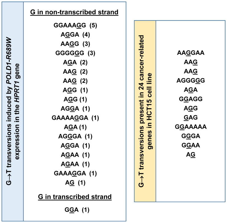 DNA sequence context of GC→TA transversions in cancer-related genes in the HCT15 cell line matches the mutational specificity of the POLD1-R689W mutator. (A) Expression of POLD1-R689W results in GC→TA transversions at polypurine/polypyrimidine tracts. Genomic sequence context is shown for all GC→TA transversions observed at the HPRT1 gene of the HCT116 POLD1-R689W cells. Each mutated site is shown as a separate entry with the number of mutations at this site in parentheses. The mutated base is underlined. (B) Sequence context of GC→TA transversions found in a set of 26 cancer-related genes in the HCT15 cell line. The set of genes was the same as the one used previously to characterize the mutational specificity of the NCI-60 panel of cell lines 19 and included APC , ARID1A , BRAF , DNMT1 , DNMT3A , DNMT3B , EGFR , EPHA3 , EPHA5 , EPHA7 , FBXW7 , GRIN2A , KRAS , LRP1B , NF2 , NRAS , PBRM1 , PIK3CA , POLE , PTEN , SETD2 , SPTA1 , STAG2 , SYNE1 , TP53 , and TRRAP . Sequence of the G-containing strand is shown. The mutated base is underlined.
